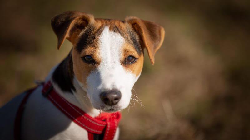 Jack Russell Terrier – pes, ktorý si ani na minútu neľahne